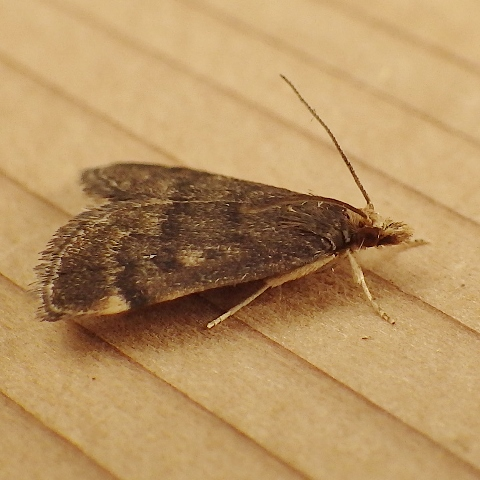Crambidae: Loxostegopsis merrickalis - Loxostegopsis merrickalis
