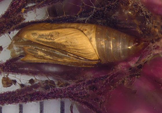 Geometridae, spent pupal case - Eupithecia miserulata