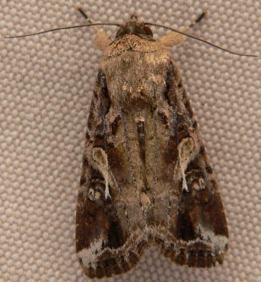 Fall Armyworm Moth - Spodoptera frugiperda