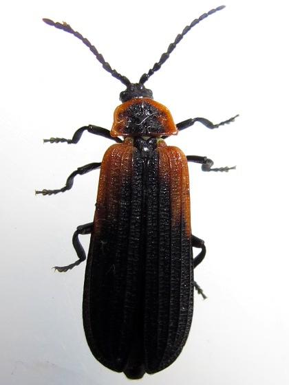 Net-winged Beetle - Eros humeralis