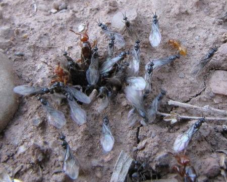 Ants - Lasius