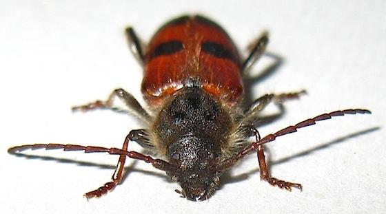 Cedar Tree Borer - Semanotus amplus