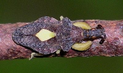 Ambush Bug - Macrocephalus sp. - Macrocephalus