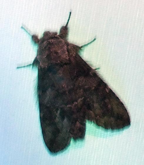 Fluffy moth