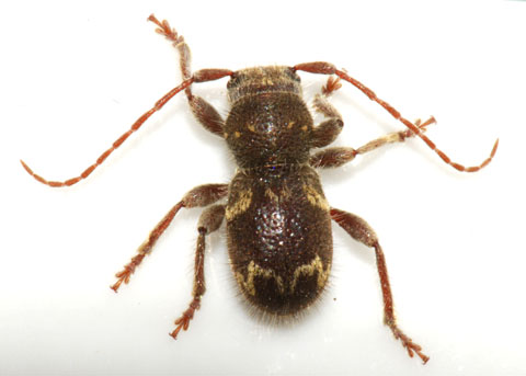 Longhorned Beetle - Ipochus fasciatus