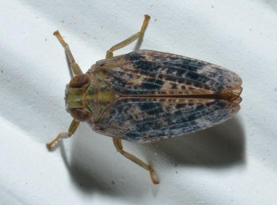 8sep2012-hemip1 - Thionia elliptica