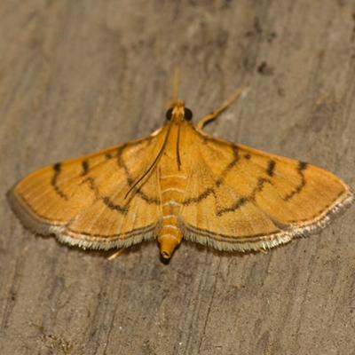 Crambid Snout Moth - Hodges #5212 - Omiodes indicata