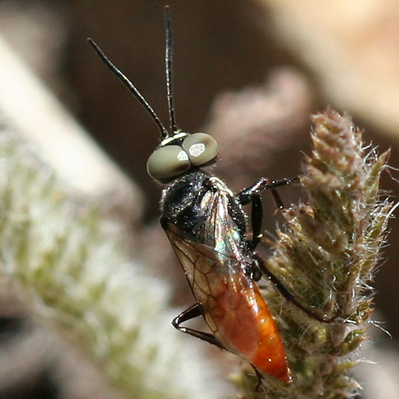 Black and red wasp with large bulging eyes - Dryudella - male