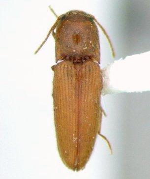 Glyphonyx 04 - Glyphonyx testaceus
