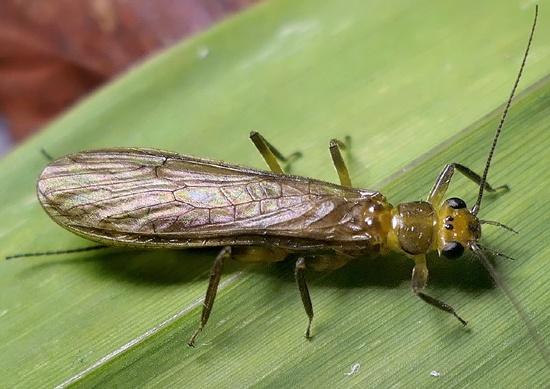 stonefly - Neoperla clymene