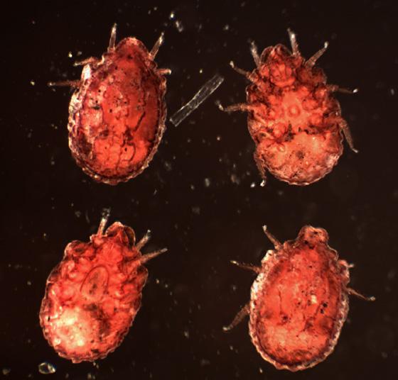 Red-Rough-Mite - Trachyuropoda
