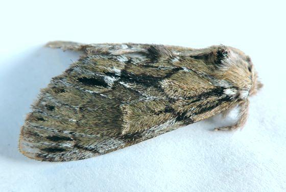 Moth  - Paraeschra georgica