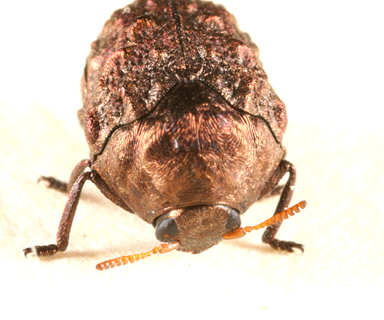 Warty Leaf Beetle - Neochlamisus
