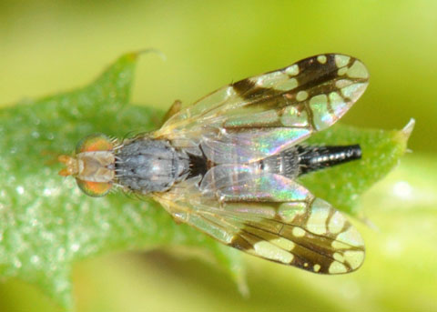 Tephritid fly - Trupanea femoralis