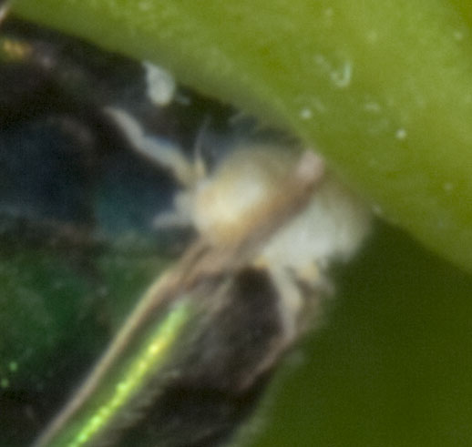IMG_1774_a - Elampus - female