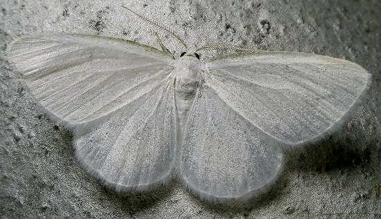 spring moth - Lomographa vestaliata