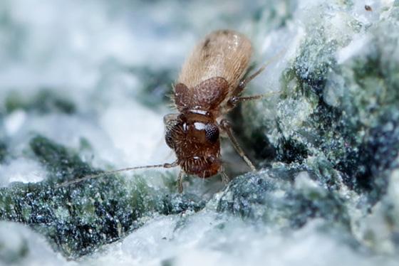 What is it ? - Lepinotus reticulatus