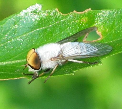 Leucotabanus annulatus - male