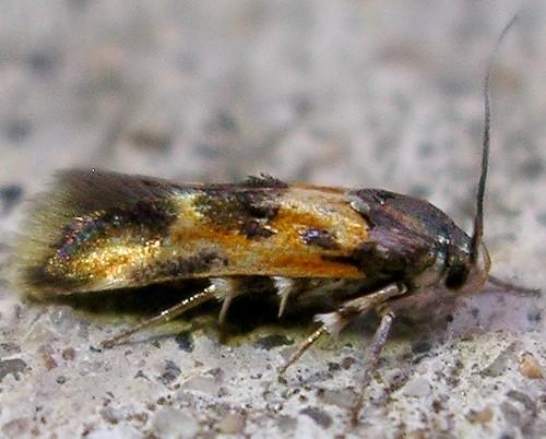 moth - Euclemensia schwarziella