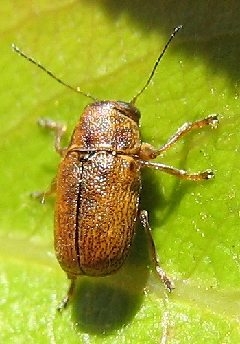 Casebearer - Pachybrachis