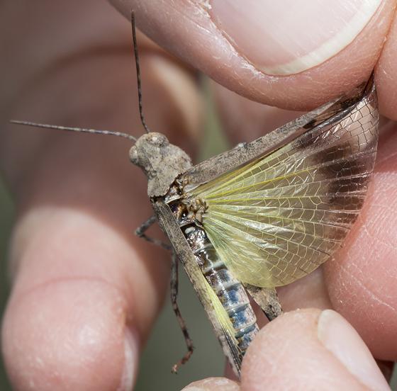 grasshopper - Trimerotropis fontana - male