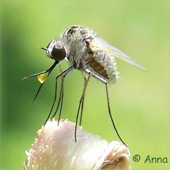 Bee Fly - Geron - Geron