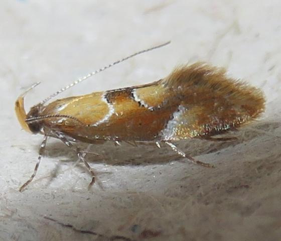 Moth - Dafa formosella