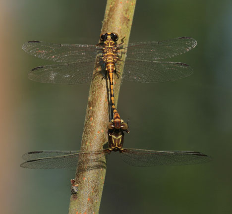 Mating Dragonflies - Progomphus alachuensis - male - female