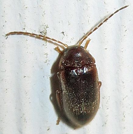 Hymenorus? - Ptilodactyla
