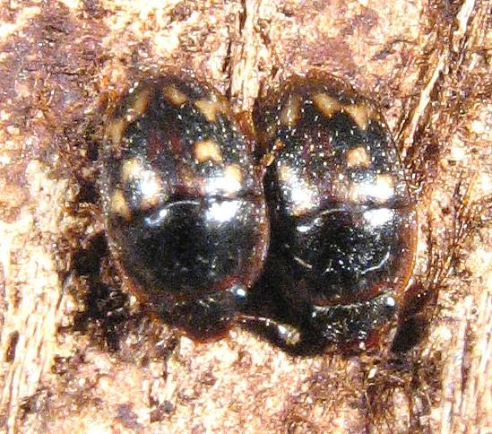 small Nit? - Cryptarcha strigatula