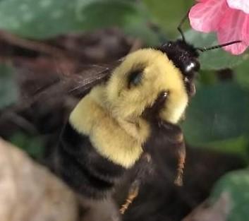 Possible Bombus affinis queen? - Bombus affinis - female