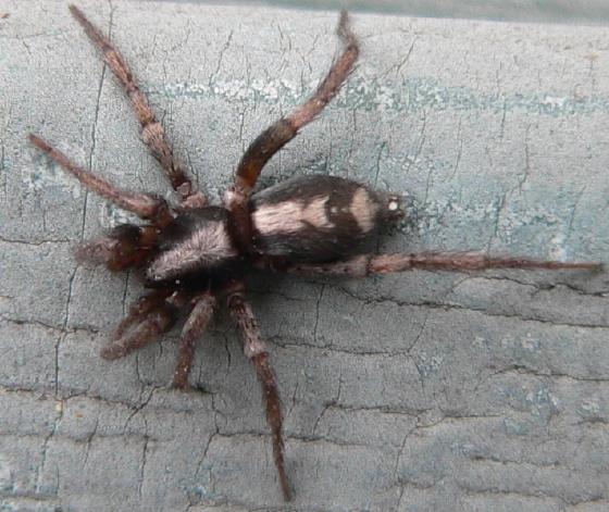Eastern Parson Spider - Herpyllus ecclesiasticus