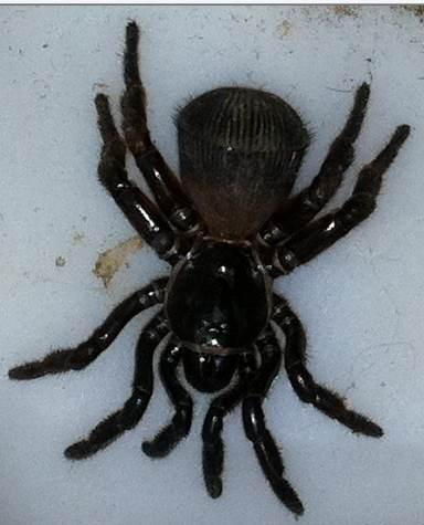 Ravine Trapdoor Spider - Cyclocosmia truncata - female ...