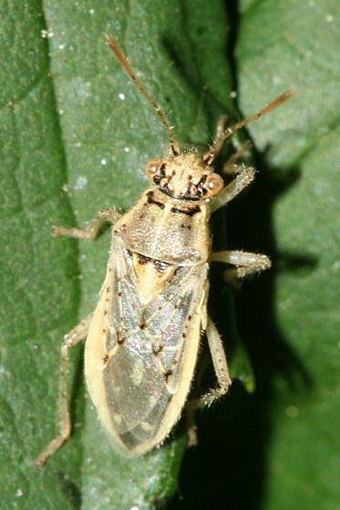 bug - Brachycarenus tigrinus
