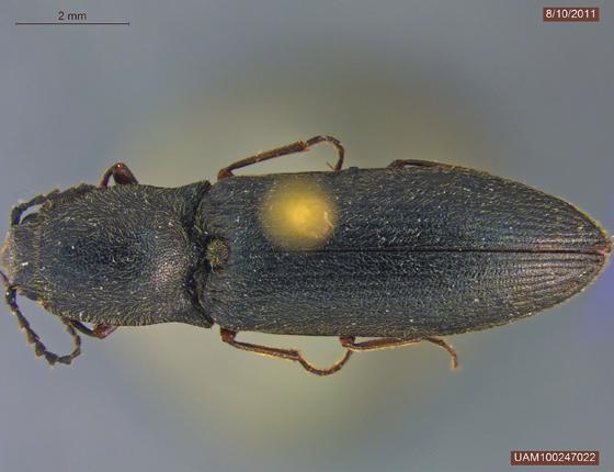 Ctenicera lobata - Corymbitodes lobatus