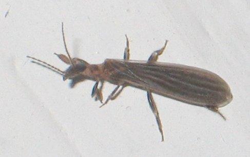 elongate bug or ? - Oligotoma saundersii