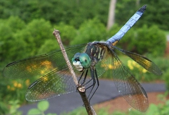 Cooperative Blue Dasher - Pachydiplax longipennis - male