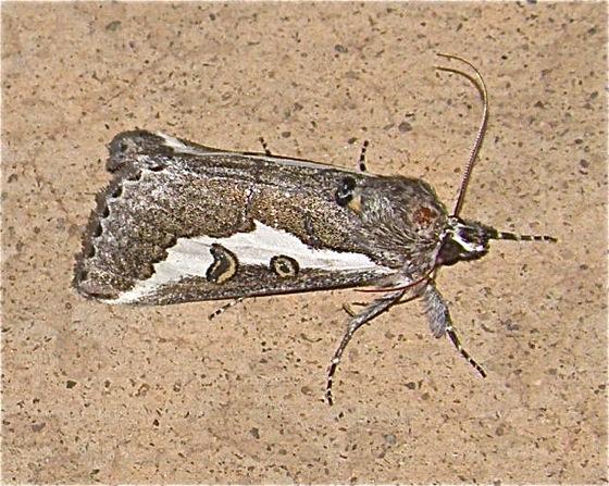 Colorful Moth - Euscirrhopterus gloveri