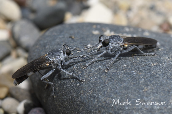 Three-banded Robber Fly (male and female) - Stichopogon trifasciatus - male - female