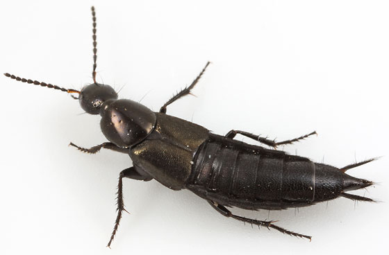 rove beetle - Philonthus cognatus