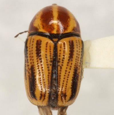 Cryptocephalus amatus Haldeman - Cryptocephalus amatus