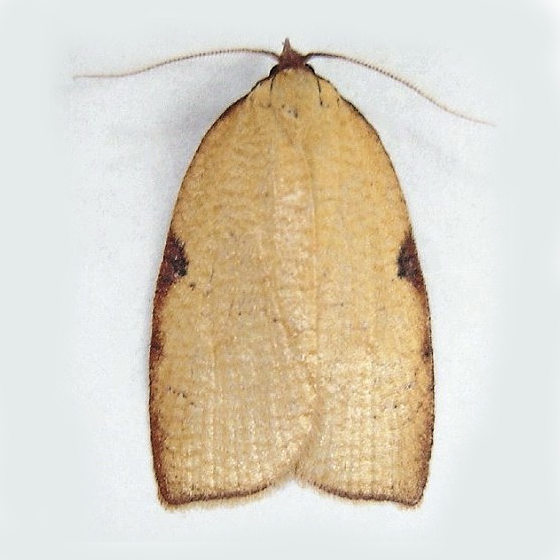 Western Avocado Leafroller - Amorbia cuneanum
