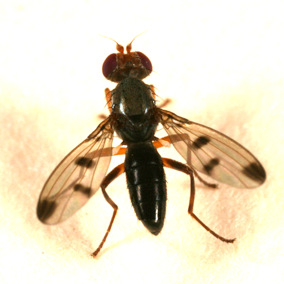 spot-winged fly - Geomyza tripunctata