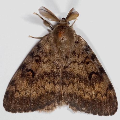 08318 Gypsy Moth - Lymantria dispar - male
