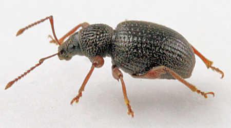 weevil -? - Otiorhynchus ovatus