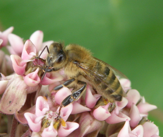 Bee? - Apis mellifera