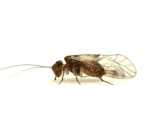 Indiopsocus campestris - female
