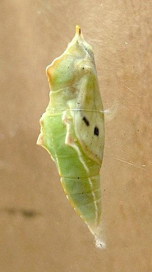 Day 45: Very late chrysalis - Pieris rapae - female