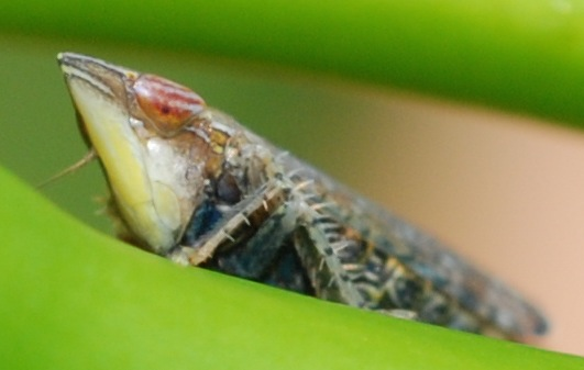 Cicadellidae - Scaphytopius acutus