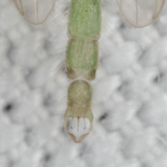 IMG_8798 - Parachironomus - male